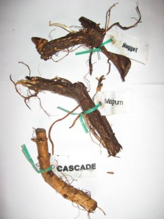 Hop Rhizomes Ready to Plant