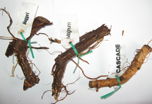 Where to Buy Hop Rhizomes