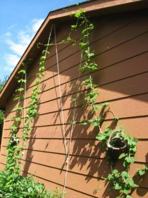 Hops Have Reached the Top