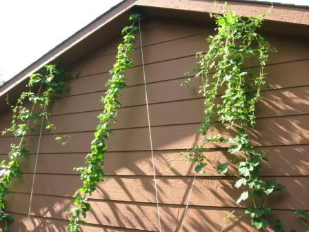 Hop Garden Starting to Flower