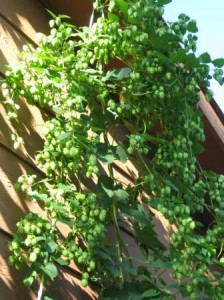 Cascade Hops Before