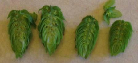 Hop Cones Showing Off Lupulin!