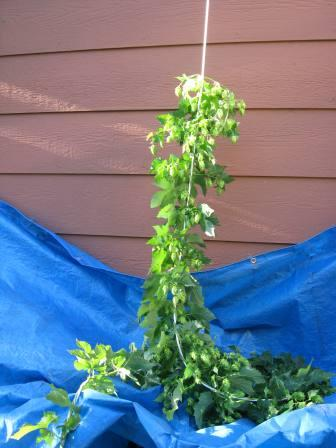 Easy Hop Cone Picking