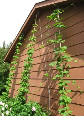 Hop bines reach the top of their ropes