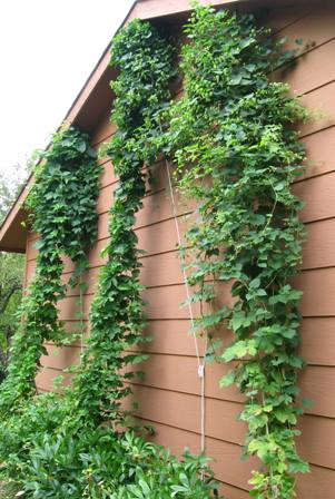 The hops are forming hop burrs and hop cones.