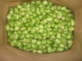 Nugget hop harvest in a paper grocery bag.
