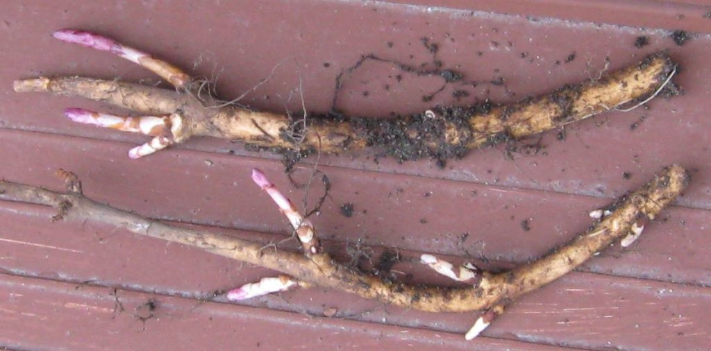 Cascade hop rhizomes pulled out of the ground.