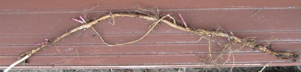 Nugget hop rhizome with buds.