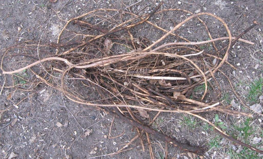 Not certain if this picture is roots or rhizomes.