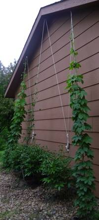 Hops topped out May 29th