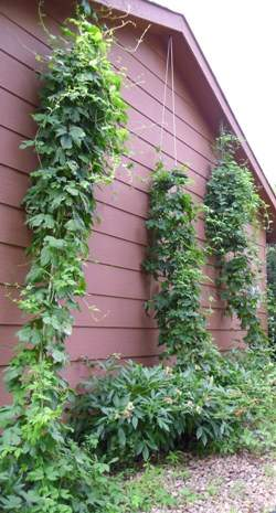 Nugget hops, Magnum hops and Cascade hops.