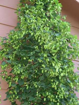 Cascade hop cones on the bine, weeks away from harvest.