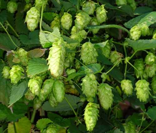 Cascade Hop Cones On The Bines