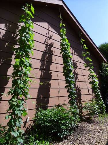 Left to right, Nugget, Magnum and Cascade hops.