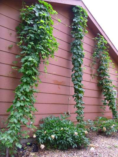 June 3rd 2012 hops update.