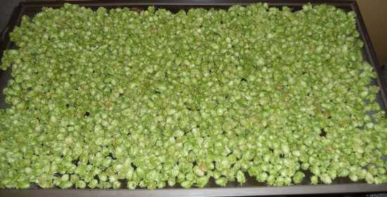 2 pounds of Cascade hops drying on a screen.