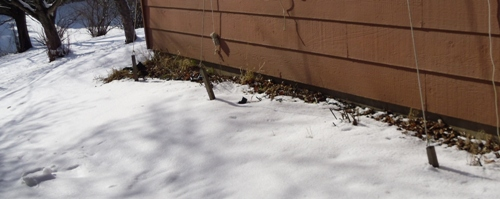 Hop sprouts buried a second time in ANOTHER 6 inches of snow.