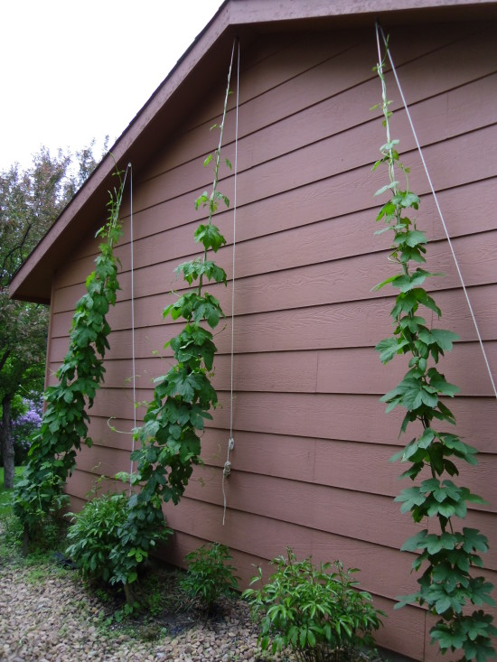June 1st the Nugget hops topped their rope, the Magnum and Cascade hop bines are not far behind.