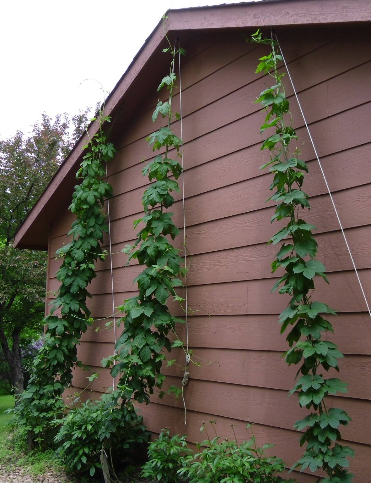 Two of the 3 hop bines are climbing over the roof (temporarily).