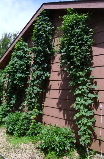 Hop bines on July 14th, 2013 are filling out.