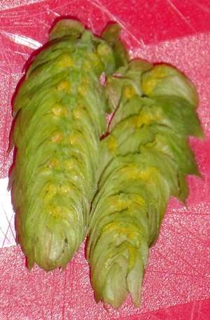 Cascade hop cone cut in half showing the yellow lupulin.