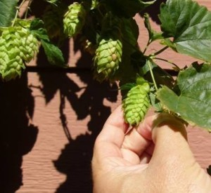 Magnum hop cones right before harvest.