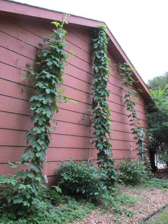Hops as of June 9th 2014