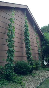 All 3 hop bines topped out their ropes