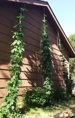 Nugget, Magnum and Cascade hop bines all reached the toip of their ropes.