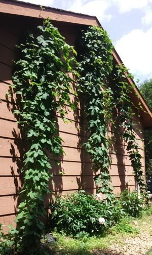 Mid June Hops