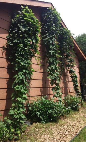 Three Hop bines are filling out with lateral growth, setting the framework for lots of hop cones.