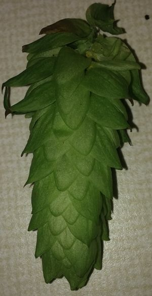 A large Cascade hop cone.