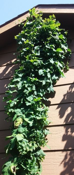 Magnum hop bines reach the roof at 15 feet tall.