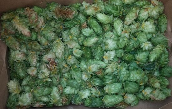 1.4 pounds of Magnum hop cones harvested.