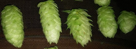5 hop cones of different shapes.