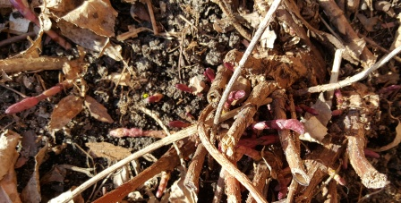 Magnum hop sprouts just breaking ground.