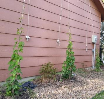 As of April 29, the hop bines are 7, 7 and 5 feet tall.