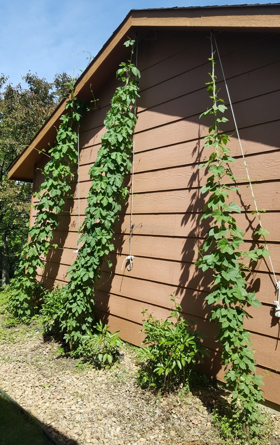 All 3 hop bines topped their ropes.