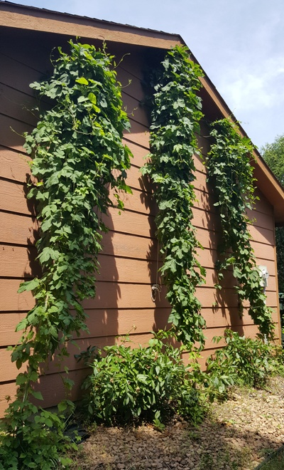 Pic of the 3 hop bines on June 25th.