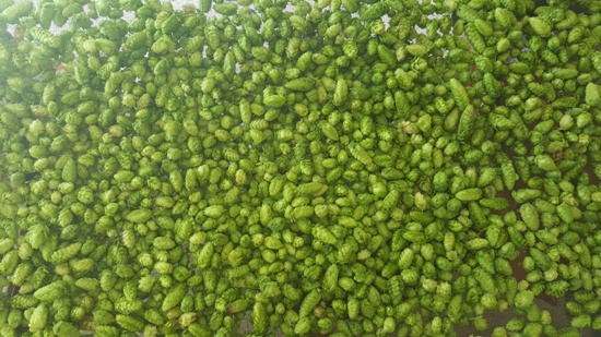Cascade hop cones drying (2 pounds)