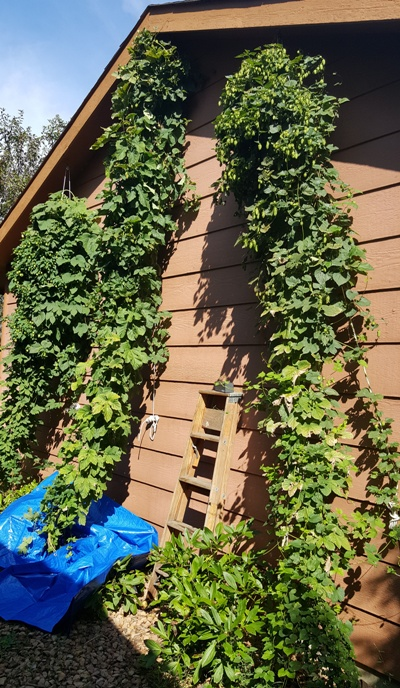 Nugget, Magnum and Cascade hop bines pre-harvest.