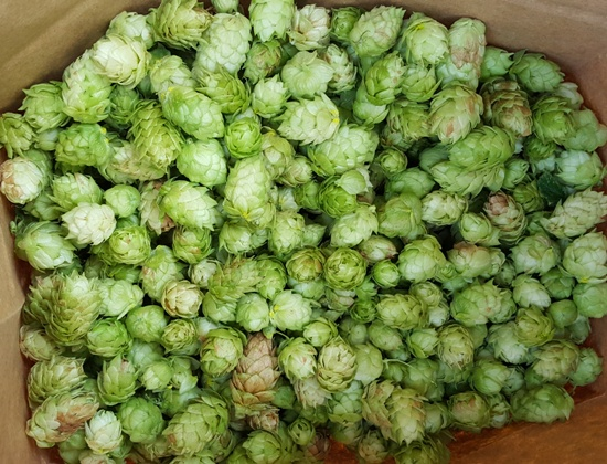 Half a grocery bag full of Nugget hops.