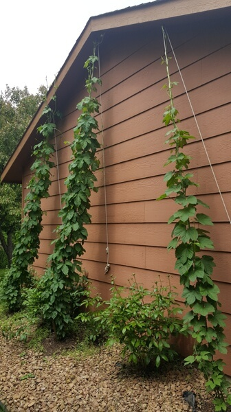 Nugget, Magnum and Cascade hop bines top out.