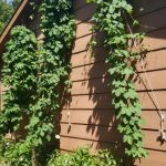 Nugget, Magnum and Cascade hop bines branching out.