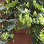 Hop cones getting close to harvest time.
