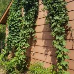 Three varieties of hops bines, Nugget, Magnum and Cascade.
