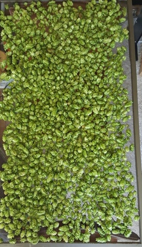 1.6 pounds of Cascade hop cones drying on a screen.