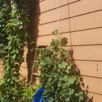 Lowered bines of the Cascade hops picked clean.