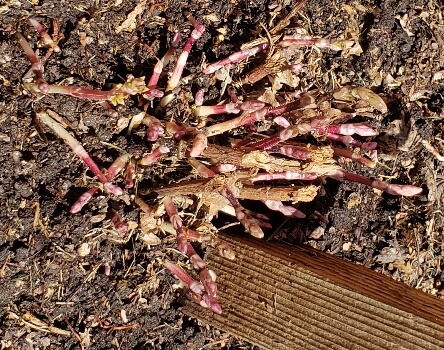 Casecade hop sprouts breaking ground