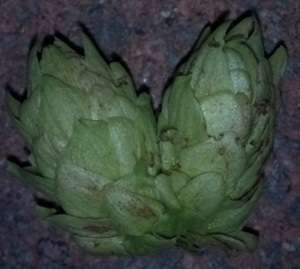 Conjoined hop cone